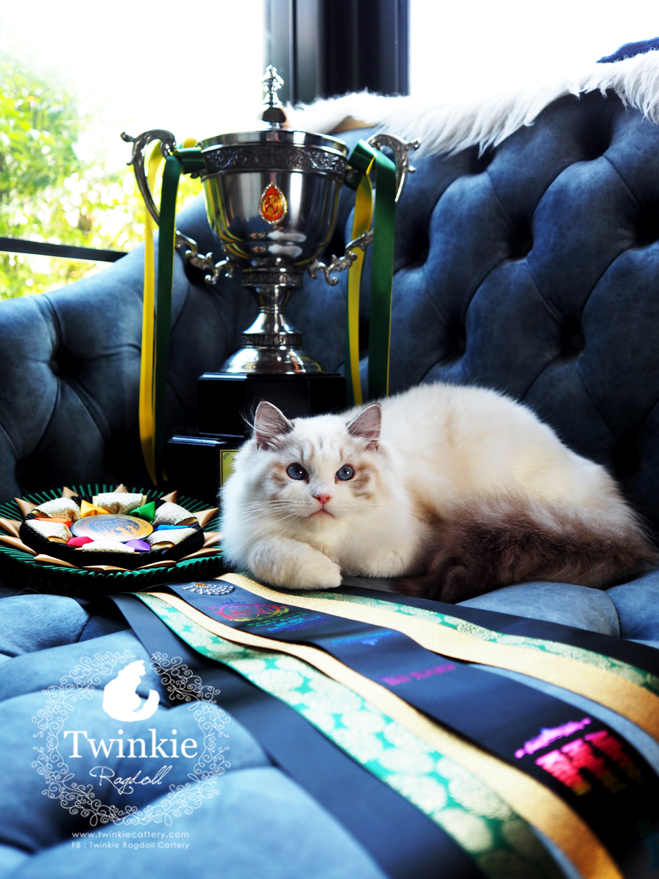 My British Shorthair Cattery At Shah Alam Selangor Malaysia Home Facebook